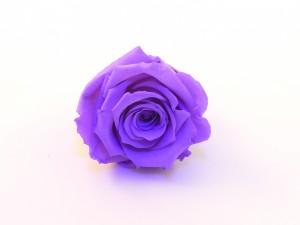 rose éternelle violet